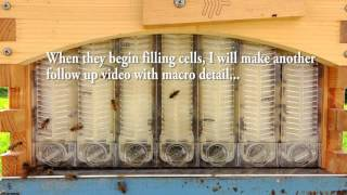 Flow Hive Update Honey Bee workers chew through thumbnail