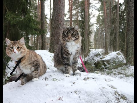 Norwegian forest cat kittens looking for each other in the snow