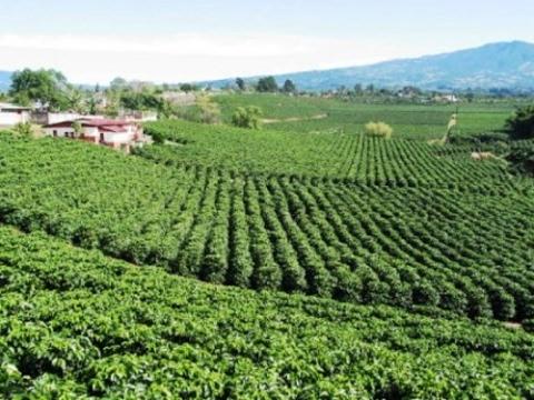 Nuevos Metodos de Cultivo y Cosecha del Café - TvAgro por Juan Gonzalo Angel
