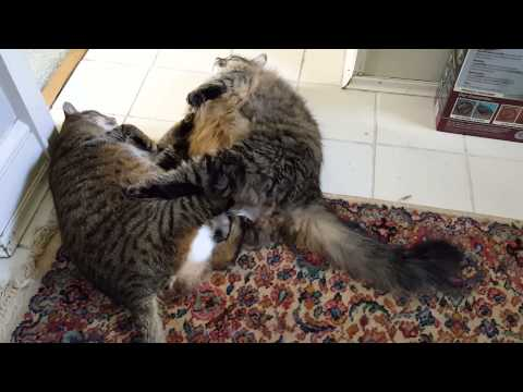 Fat cat fight