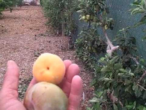 Master Gardeners Tree Fruit Orchard - Growing Fruits and Vegetables in Las Vegas