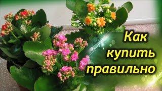 видео Как ухаживать за каланхоэ в домашних условиях: фото растения, пересадка, цветение