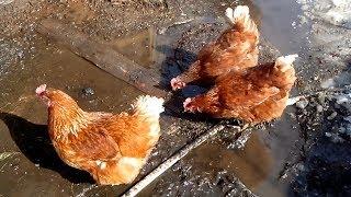 Курочки и Петя петушок встречают весну. Мультфильм для детей. TopicRu