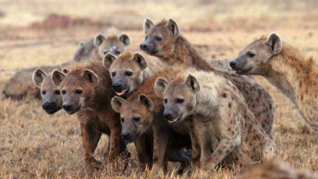 Male Hyena Tribes and Single Mothers