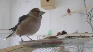 певчие птицы в домашних условиях