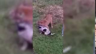 Сбежавшая пума напала на собаку у частного дома