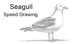 Seagull Time-lapse (Speed) Drawing