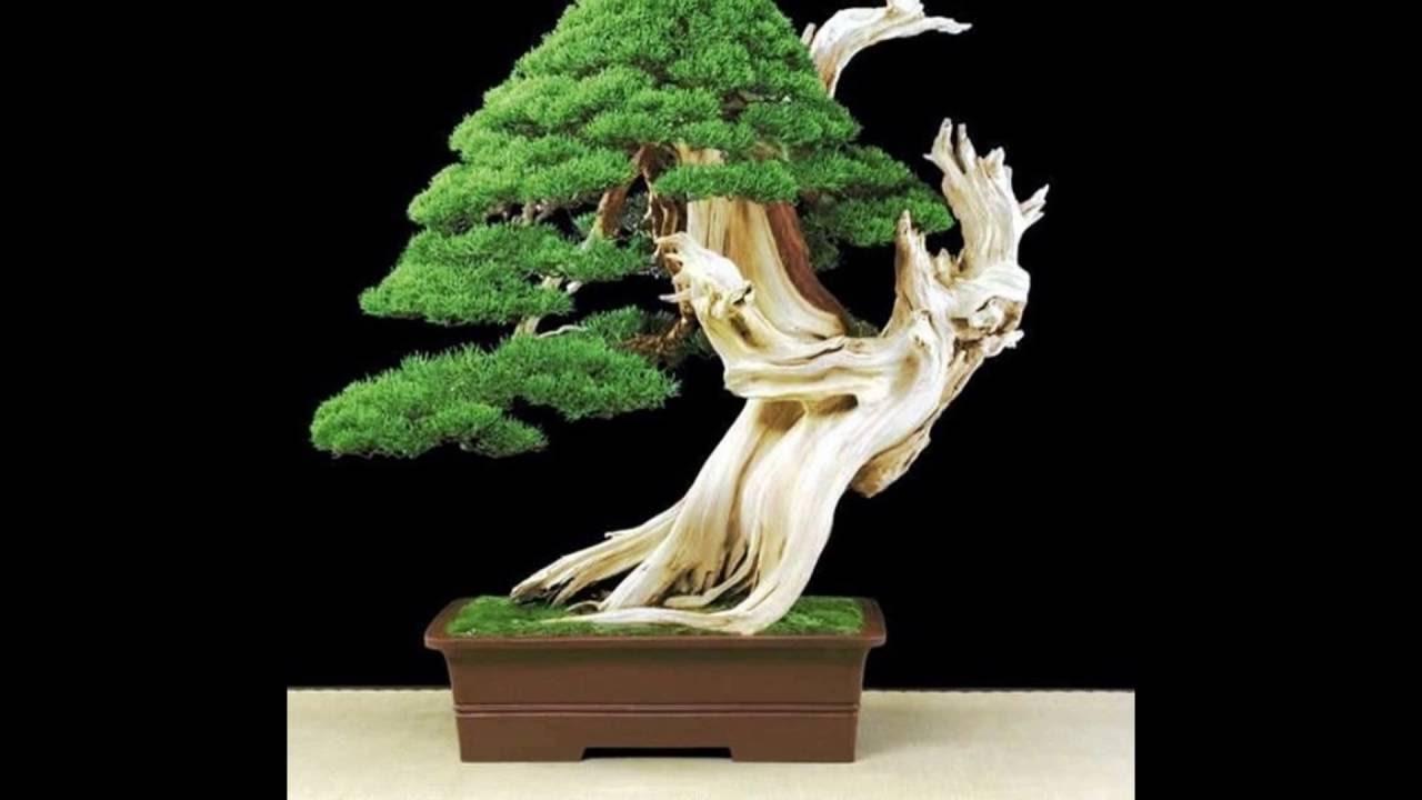 Bristlecone Pine Bonsai Youtube