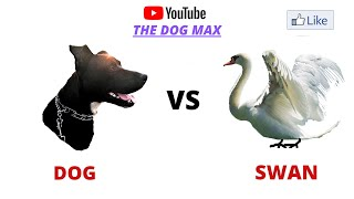 DOG MAX VS SWAN СОБАКА И ЛЕБЕДЬ
