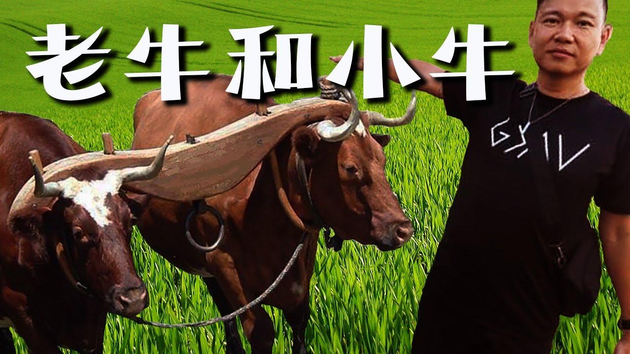 常年期第十四主日 - 老牛和小牛 - by Fr Simon Lau/ 2020