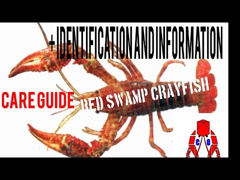 RED SWAMP CRAYFISH CARE GUIDE + IDENTIFICATION AND INFORMATION