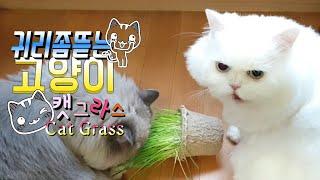 [까까캔디] 캣그라스 먹방 |귀리 |캣풀 뜯어먹는 고양이 |귀리만 보면 환장하는 냥이들 | 캣풀의 효능  -월요시식회-