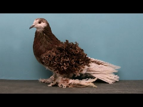 Лучшие породы голубей -  видео