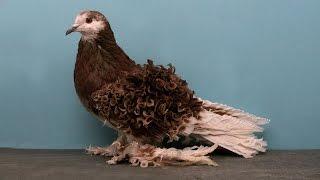 Лучшие породы голубей -  видео(Товары для животных http://aliexpress.beadsky.com - Напрямую из Китая! Игрушки, ошейники и многое другое. Оптовая цена,..., 2014-12-11T16:08:03.000Z)