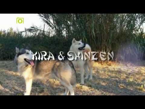 Alaskan Malamute vs Akita Inu - Kira & Shinzen