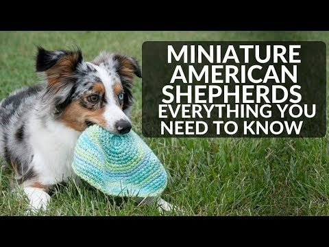 Miniature American Shepherd 101 Everything You Need To Know