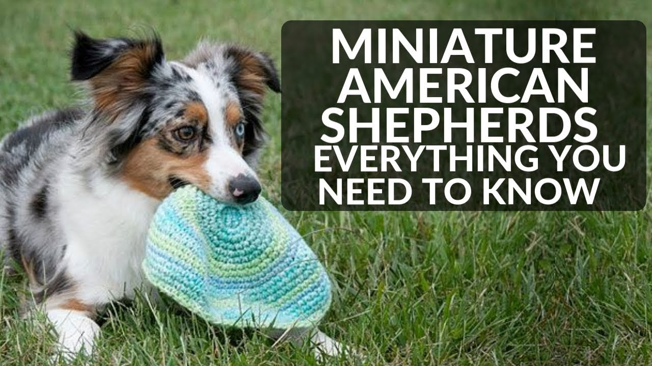 Miniature American Shepherd 101 Everything You Need To Know About Mini Ausies
