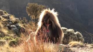 Гелада бабун