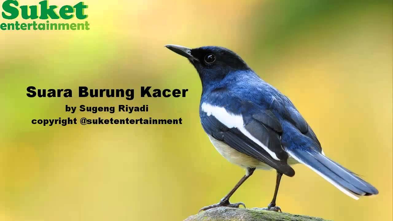 free download suara burung kacer durasi panjang resep
