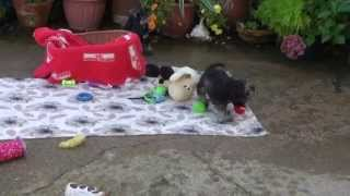 Little Rascals Uk Breeders New Litter Of Pedigree Miniature Schnauzer Pups