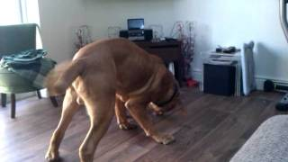 Tak (staff) Vs Bubba (dogue) March 2011 (different Angle)