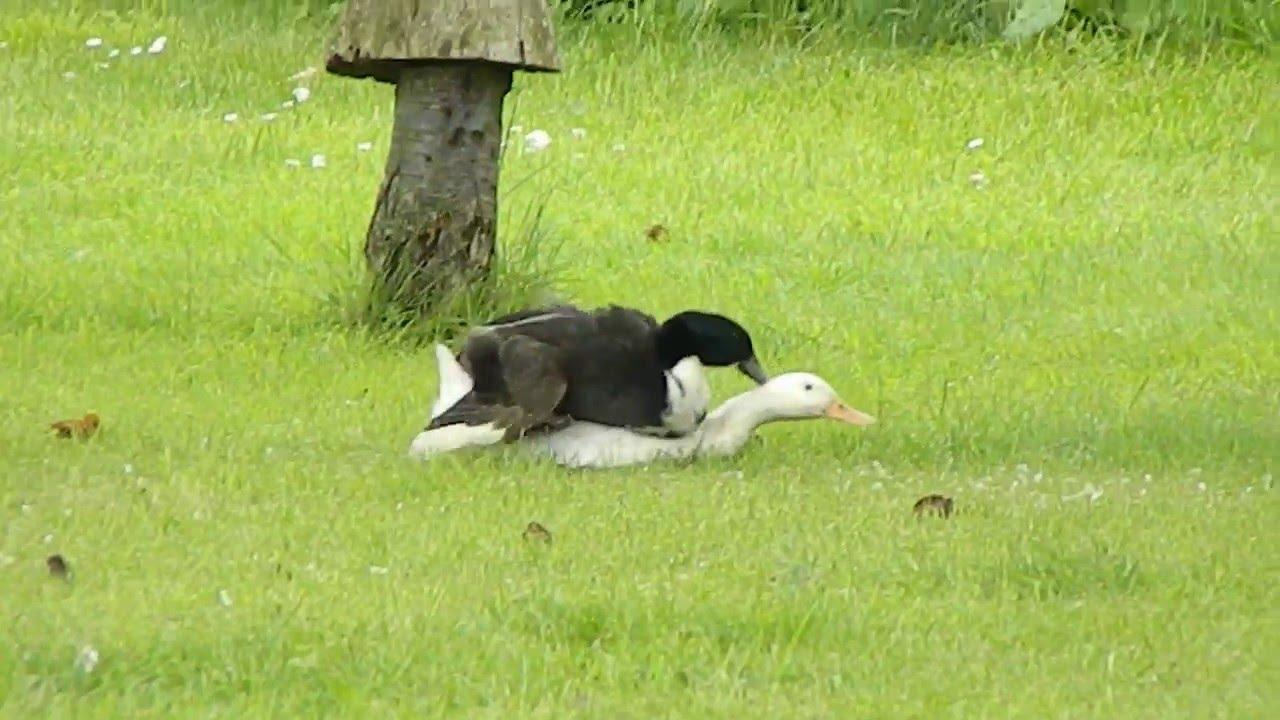 Duck sex xxx images 12