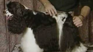 How To Groom The Tail - American Cocker Spaniel Video  5min.com.flv