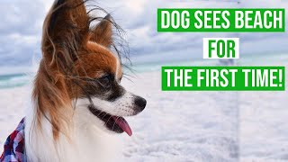 My Dog Goes To The Beach For The FIRST TIME! // Percy the Papillon Dog