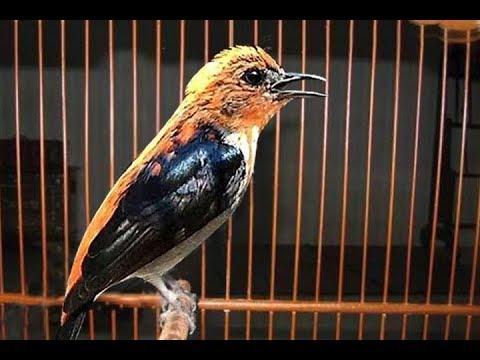 Burung Cabe Cabean Gacor Suara Super Pedas