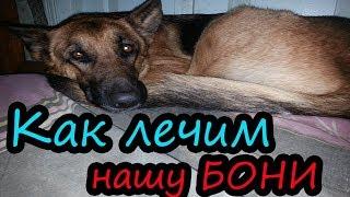 Ложная беременность у собаки // Мастит // Немецкая овчарка // Бони