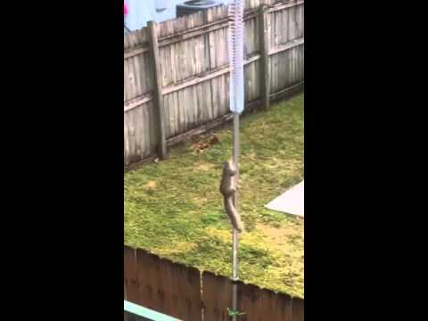 Squirrel vs. Slinky