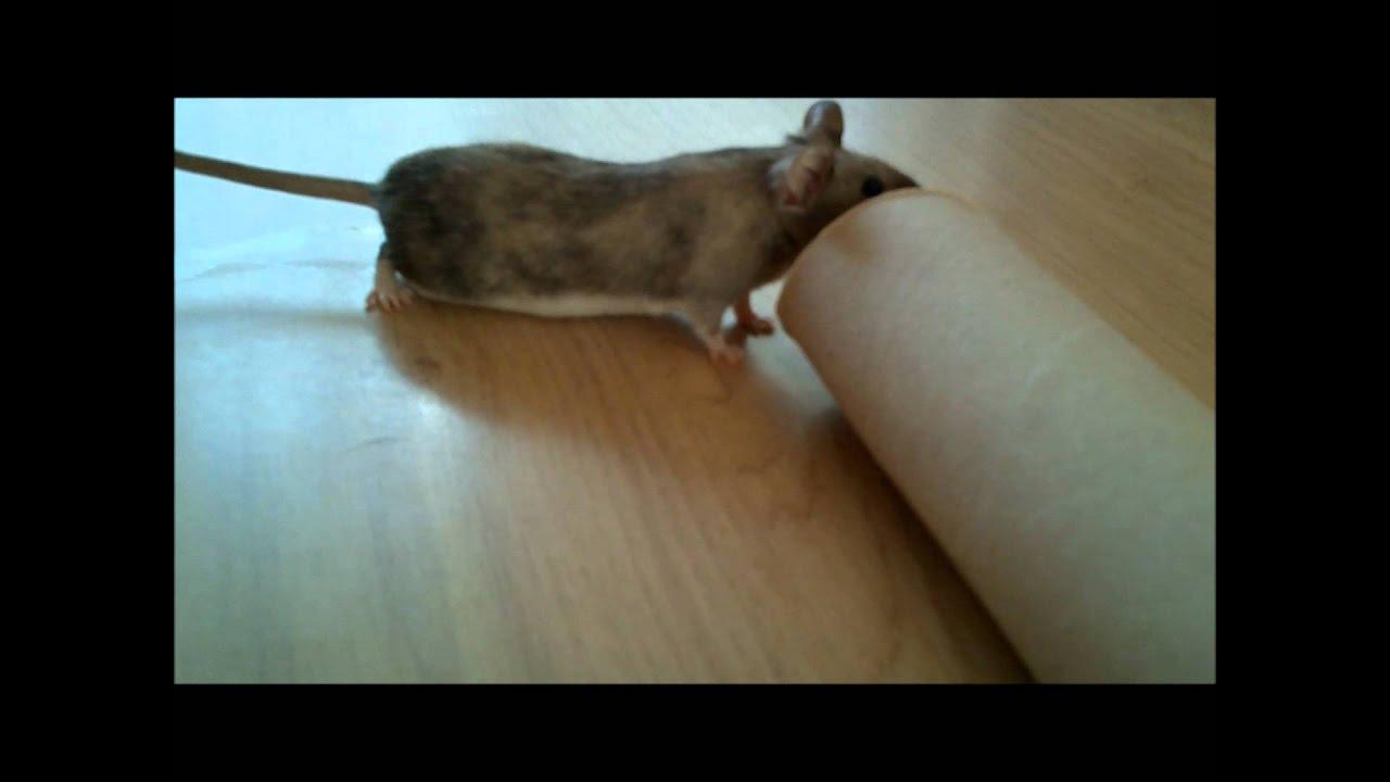 Souris Grimpe Au Mur attraper une souris sans la tuer - youtube