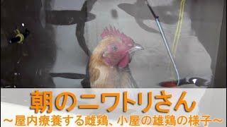 """2018年2月16日朝の映像です。 3才10ヶ月になる雌鶏""""ぴよ花""""を屋内療養さ..."""