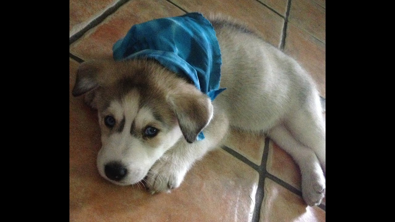 Gohan The Husky's Puppy Videos