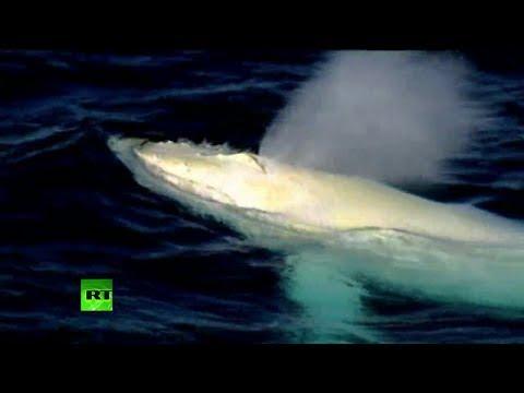 Una misteriosa ballena albina hace su aparición y sorprende en Australia