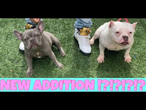 NEW ADDITION !?!? Blue Frenchie With L.O.E'S NiNA...
