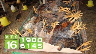 Gà chết nhiều không rõ nguyên nhân, người nuôi tá hỏa | VTC16