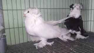 مزرعة حمام في مصر - مزرعة لتربية حمام الزينة - للتواصل 01286656969
