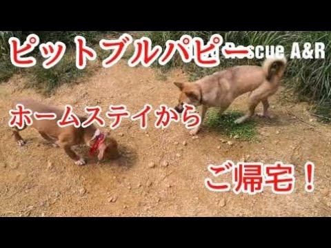 【ピットブルパピー】犬の社会勉強