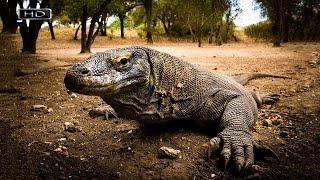 Хладнокровный дракон с грязной пастью, страшным прозвищем и грозной мордой - Комодский варан