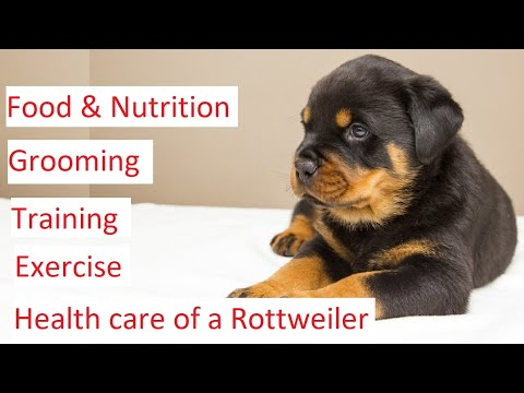 Rottweiler 101 – Feeding, Grooming, Training & Health Care of a Rottweiler
