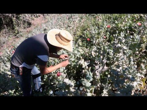 México: florece cultivo de amapola ante demanda de heroína