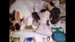 Exotic Shorthair Monet and Goliath have 4 Babies born 021216