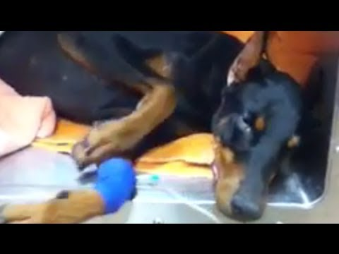 Silly Drugged Doberman wakes up strangely from surgery - funny