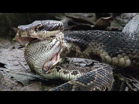 Cottonmouth Vs Rattlesnake 02 Cottonmouth Kills Eats Rattlesnake