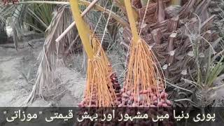 Various types of date grown in Balochistan