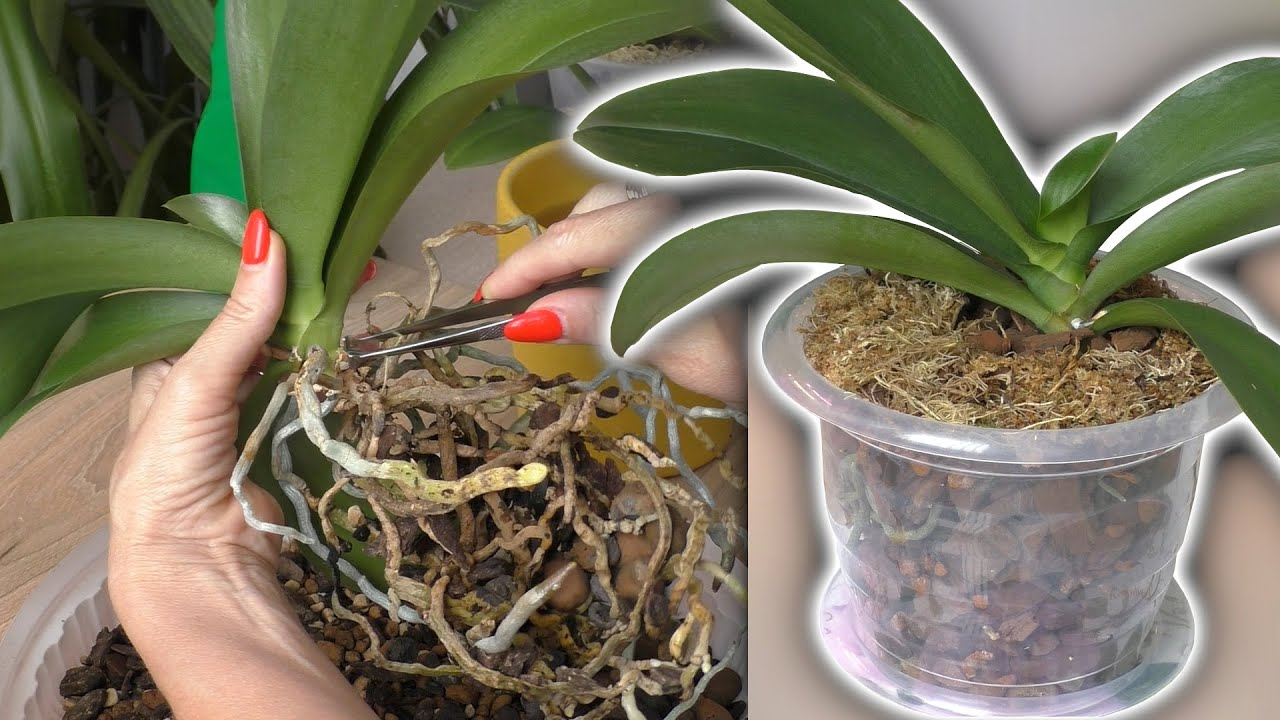 Время пришло.Пересадка домашней орхидеи Сладкая девочка (Sweet girls).Разбираю корни, нашла цветонос