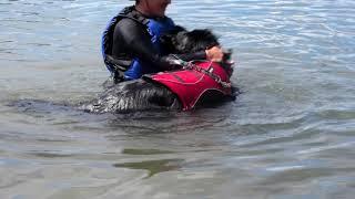 ニューファンドランドの3姉妹と母と家族で水遊びをしてきました。 ウズ...