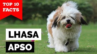 Lhasa Apso  Top 10 Facts