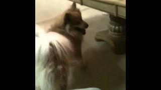 Pomeranian/husky Mix :o